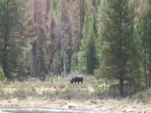 Moose at Adam\'s Falls